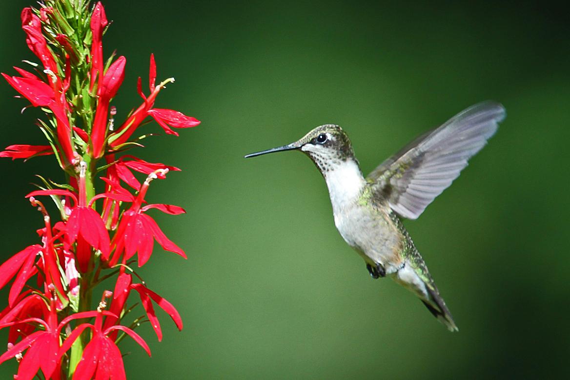Ruby Throated Hummingbird Back Yard Biology
