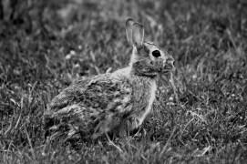 B&W Bunny