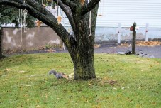 Squirrel eating pizza