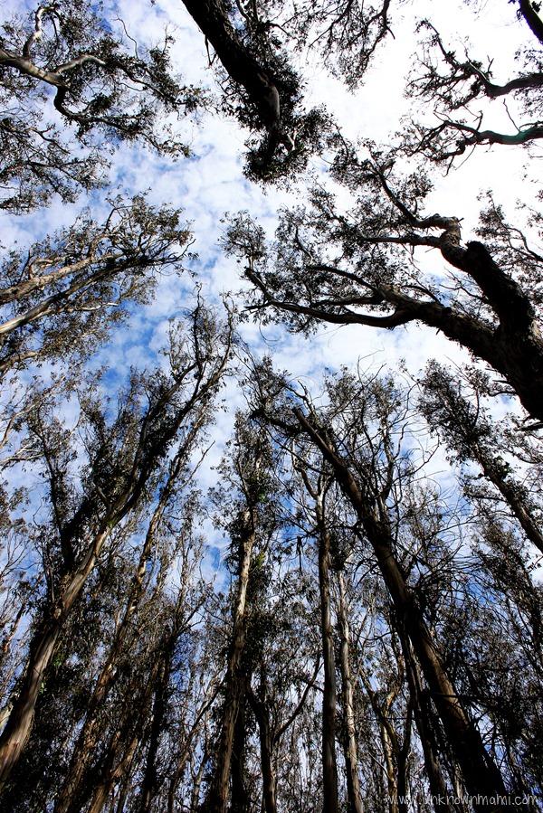 Trees in the Presidio