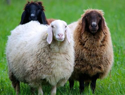 Lana ovejas