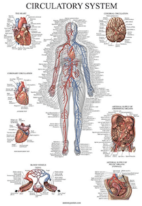 an anatomical poster set is one of the best gifts for medical students or residents