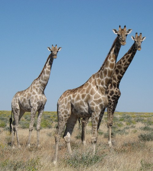 Giraffes in Etosha National Park