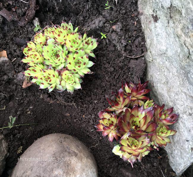 Steintrapp i hagen og planter som tåler skygge