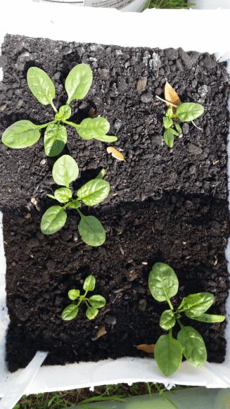 Spinachweek6