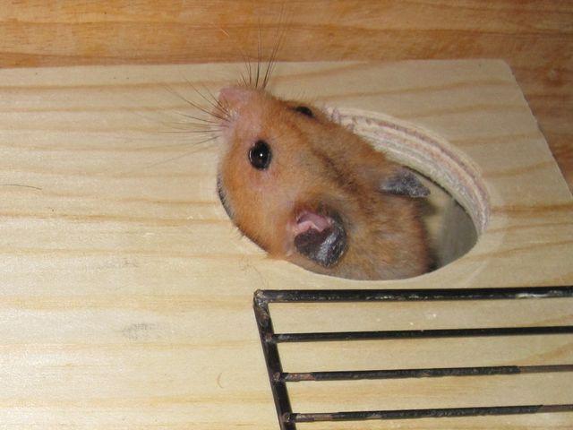 Hamster Guckloch