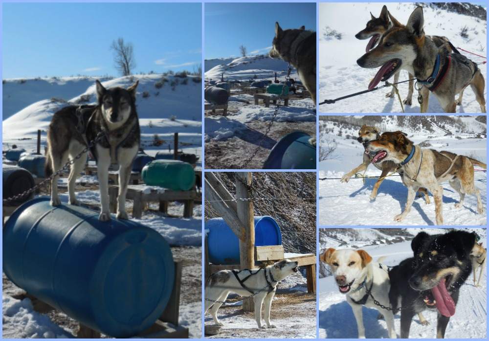 Adventures in Dogsleds - Dashing Through The Snow!