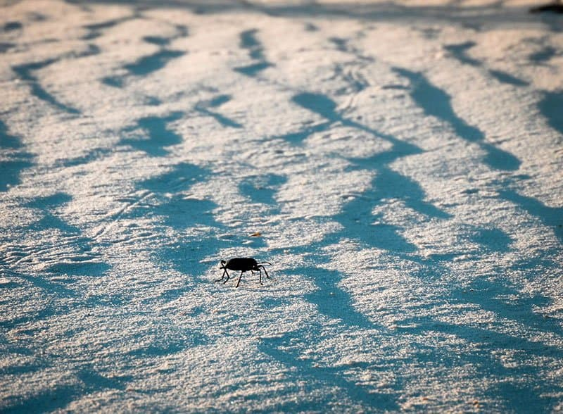 beetle white sands