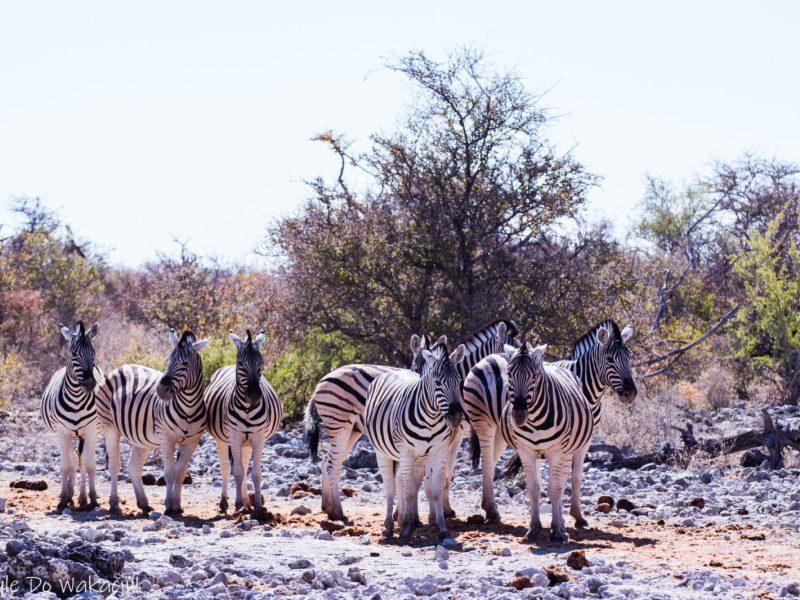 zebry w Namibii