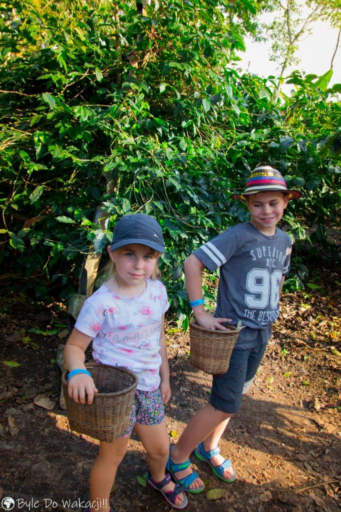 plantacja kawy wKolumbii
