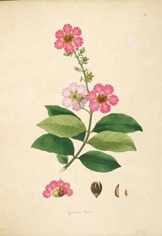 Coromandel Flower Beauties