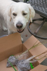 Buddy looking at blueberry plants in box