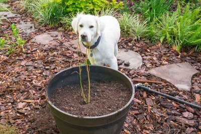 Buddy and planted blueberry