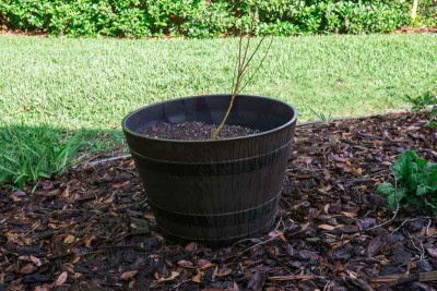 Blueberry Plant in the Barrel
