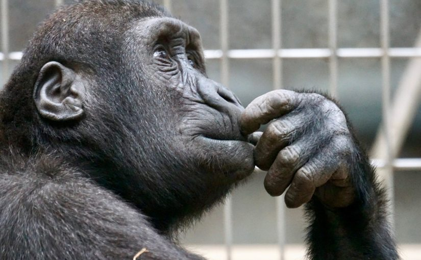 "A picture of a primate in the thinking posture from Nick Byrd's ""Is Reflective Reasoning Supposed To Change My Mind?"""