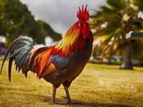 Arti Mimpi Membeli Ayam Jago Menurut Primbon