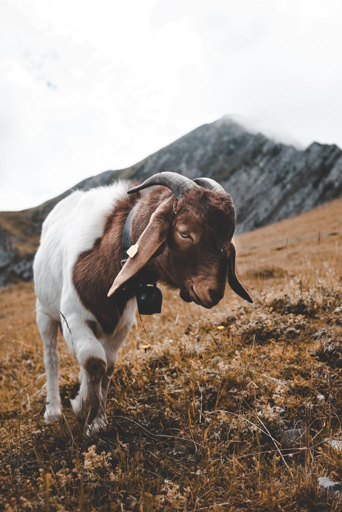 Close up goat, a symbol of the day of atonement. - byZipporah Blog