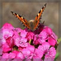 Rusałka pokrzywnik (Aglais urticae)