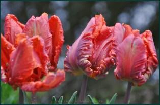 tulipany2015i9
