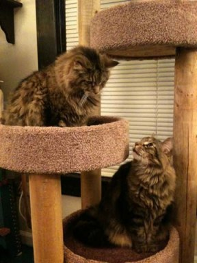 2 gray Maine Coon Cats photo by BZTAT