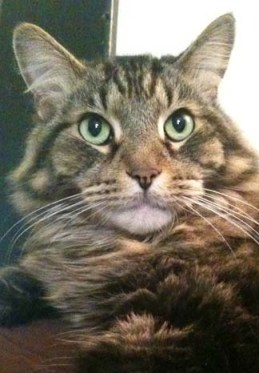 Gray Maine Coon Cat photo by BZTAT