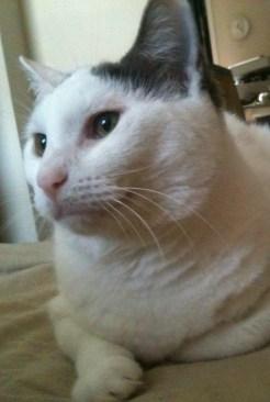 Okey white cat photo