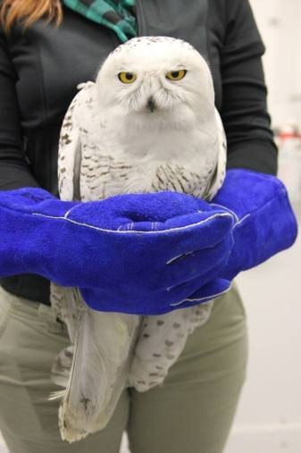 Snowy Owl rescued by Lake Erie Science Center Wildlife Rehab