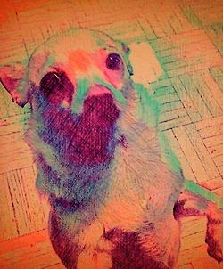 Custom Digital Chiahua Dog - Fine Art Pet Portrait by Animal Artist BZTAT