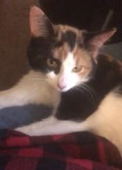 CALICO CAT kitten