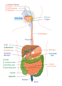 Improve Digestion - Digestive_system_diagram