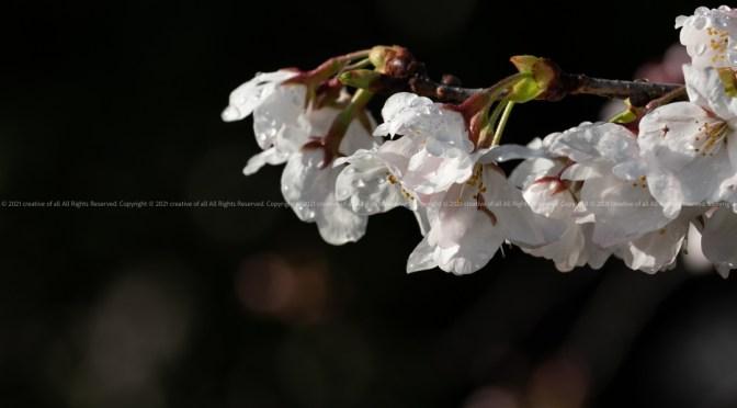 前日の豪雨の名残が満開間近の桜に。