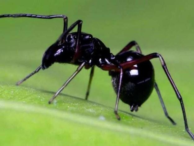 ٹاکسیئس میگنس مکڑی اپنے بچوں کو دودھ نما شے پلا کر پالتی ہے ۔ فوٹو: چینی اکادمی برائے سائنس