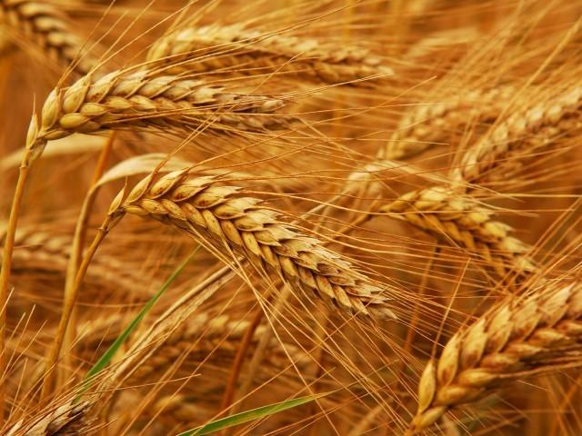 گندم کے بحران کے ملکی معیشت پر کیا اثرات ہوں گے؟