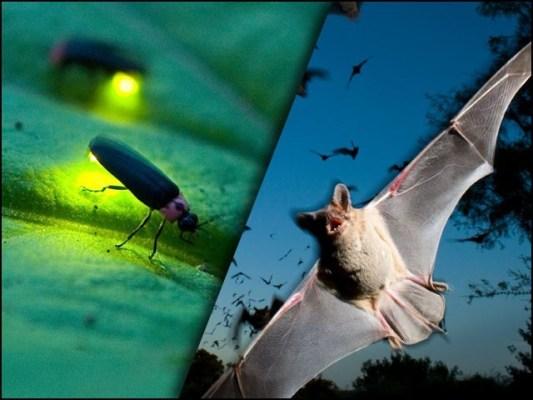 جگنو اپنے پروں کی پھڑپھڑاہٹ سے الٹراسونک لہریں پیدا کرتے ہیں جنہیں چمگادڑیں سن لیتی ہیں اور ان سے دور رہتی ہیں۔ (فوٹو: فائل)