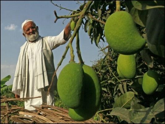 حاجی کلیم اللہ پچھلے 65 سال سے آموں کی کاشت اور پیداوار پر کام کررہے ہیں۔ (تصاویر: انٹرنیٹ)
