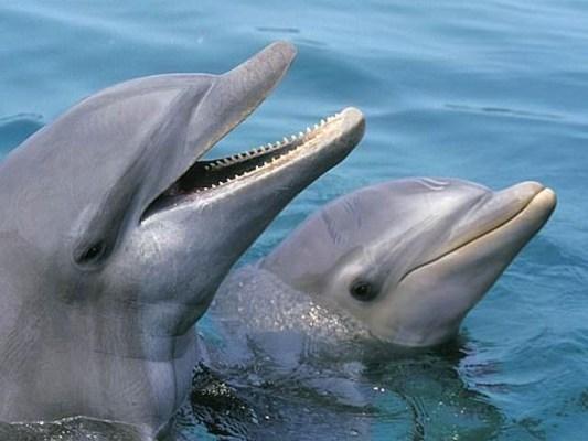 بوٹل نوز نر ڈولفن ایک دوسرے سے محبت کے ساتھ ساتھ بے اعتنائی، خودغرضی اور رنجش کا جذبہ بھی رکھتے ہیں۔ فوٹو: فائل