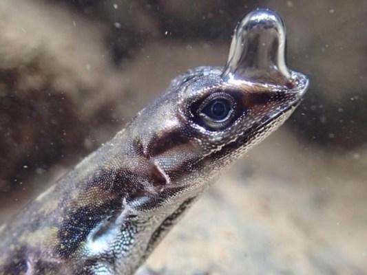 اینولِس چھپکلی کے ناک پر بلبلہ نما ابھار ہوتا ہے جس میں وہ ہوا بھرکر پانی کے اندر 16 منٹ تک رہ سکتی ہے (فوٹو: لنڈسے سوائرک)