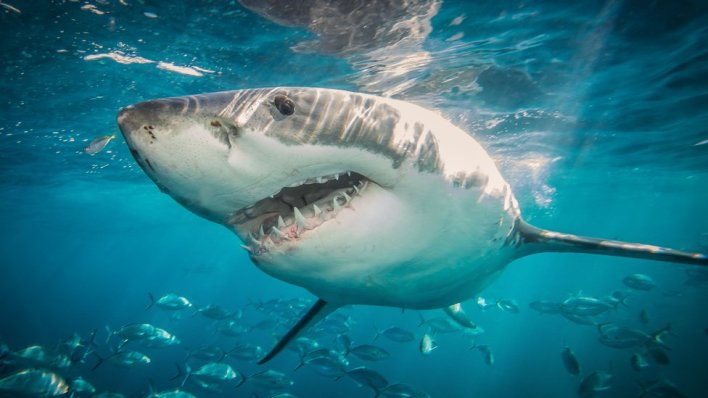 A great white shark swimming near a school of fish
