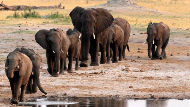 Elephants in Zimbabwe (file photo)