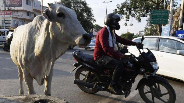 Una vaca al lado de una motocicleta.