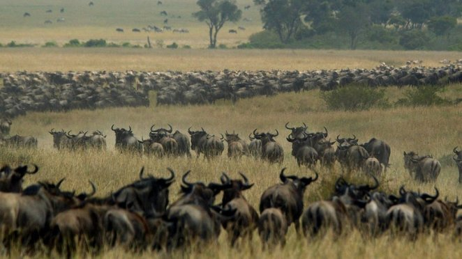 Tanzania and Kenya row over delay to wildebeest migration - BBC News