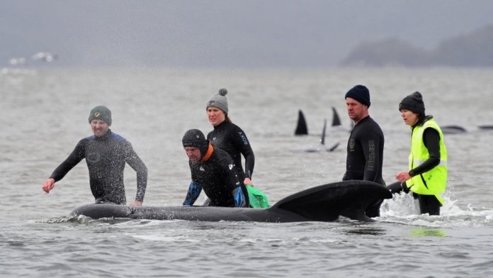 Rescuers help a whale stranded in shallow surf
