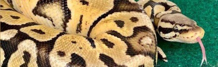Lulu the python