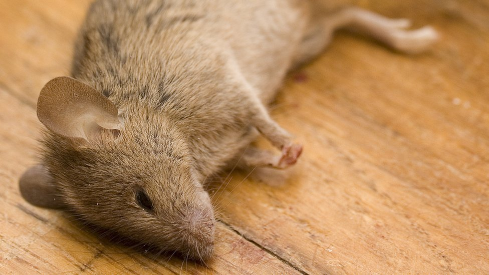 Ratón muerto