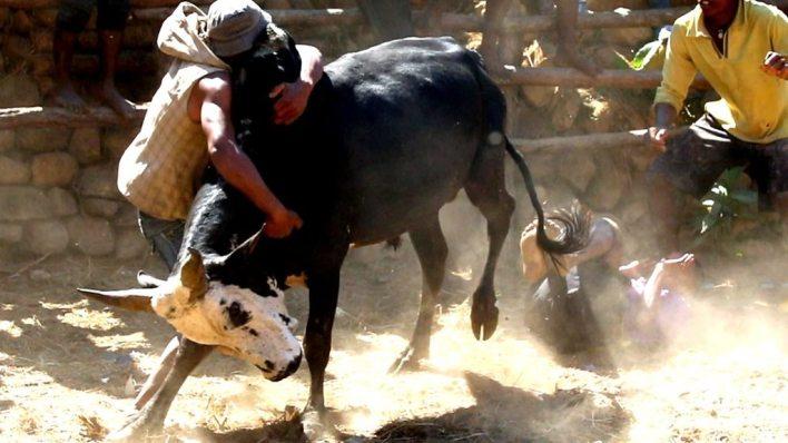 98076648 p05hlg28 - Bull wresting for love in Madagascar