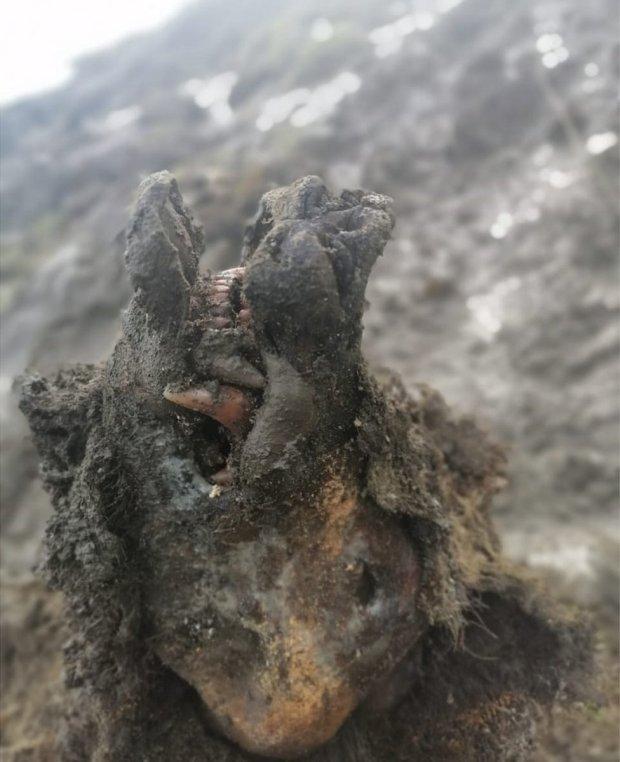 A preserved bear found in Siberia