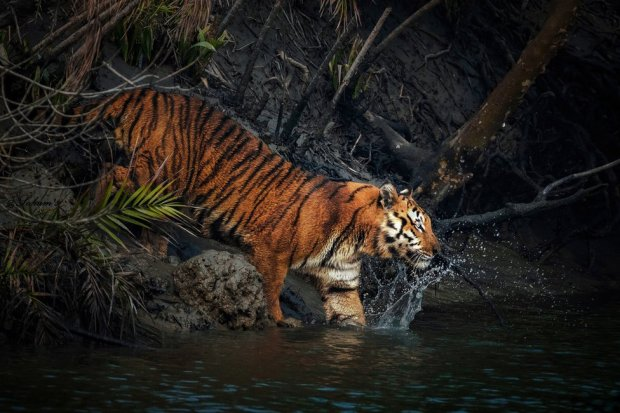 A tiger steps into water from the edge of a mangrove forest
