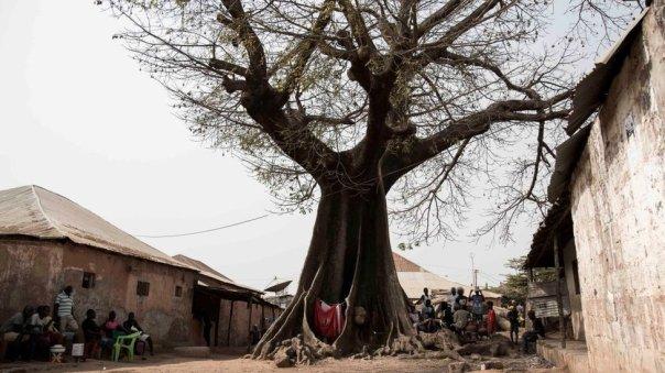 Los baobabs