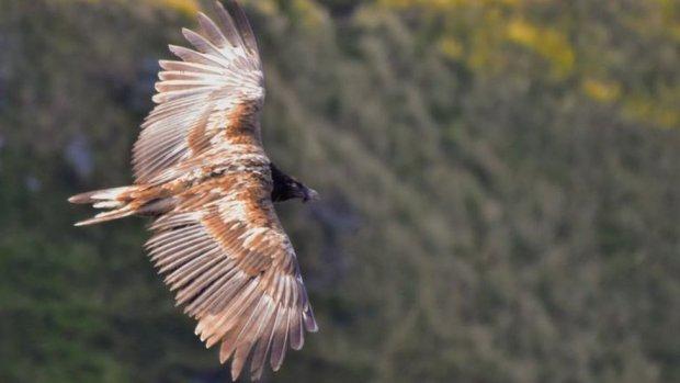 bearded vulture in Derbyshire