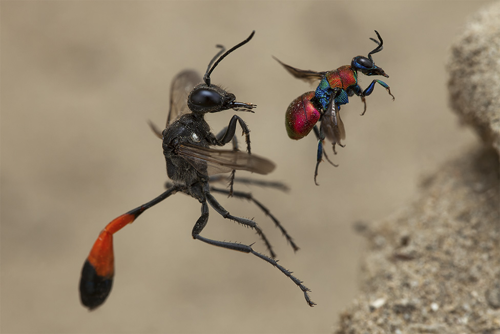 A tale of two wasps by Frank Deschandol, France